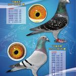 ATT-歐洲銘鴿