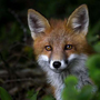 fox109