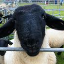 住在英國的黑臉羊 圖像