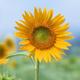 創作者 向日葵 的頭像