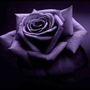 愛一直存在的紫玫瑰歌迷